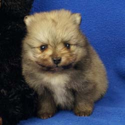 Available for sale at Impressive Pomeranians