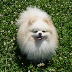 adult-pomeranians-for-sale-guys-with-boners-that-are-naked